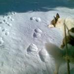 Koira hangella karhun jäljillä.