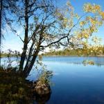 Puu ruskassa järvimaisemaa vasten.